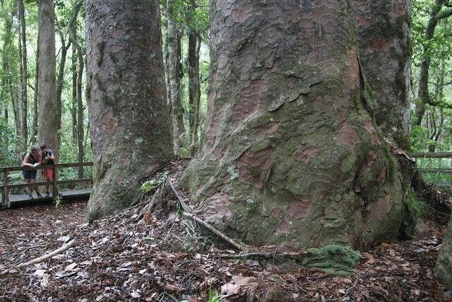 Árbol en el bosque de Waipoua