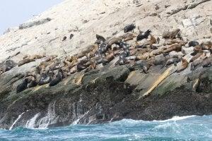 Leones marinos en la costa de Perú