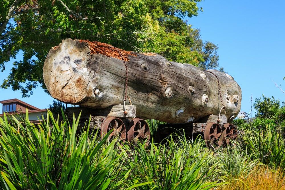 Tronco de kauri, uno de los viejos árboles de la Isla Norte