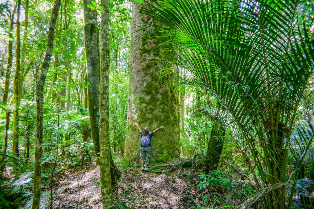 Los antiguos árboles de la Isla Norte de Nueva Zelanda
