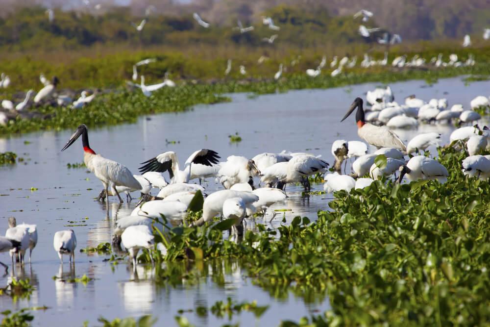 Aves en Pantanal