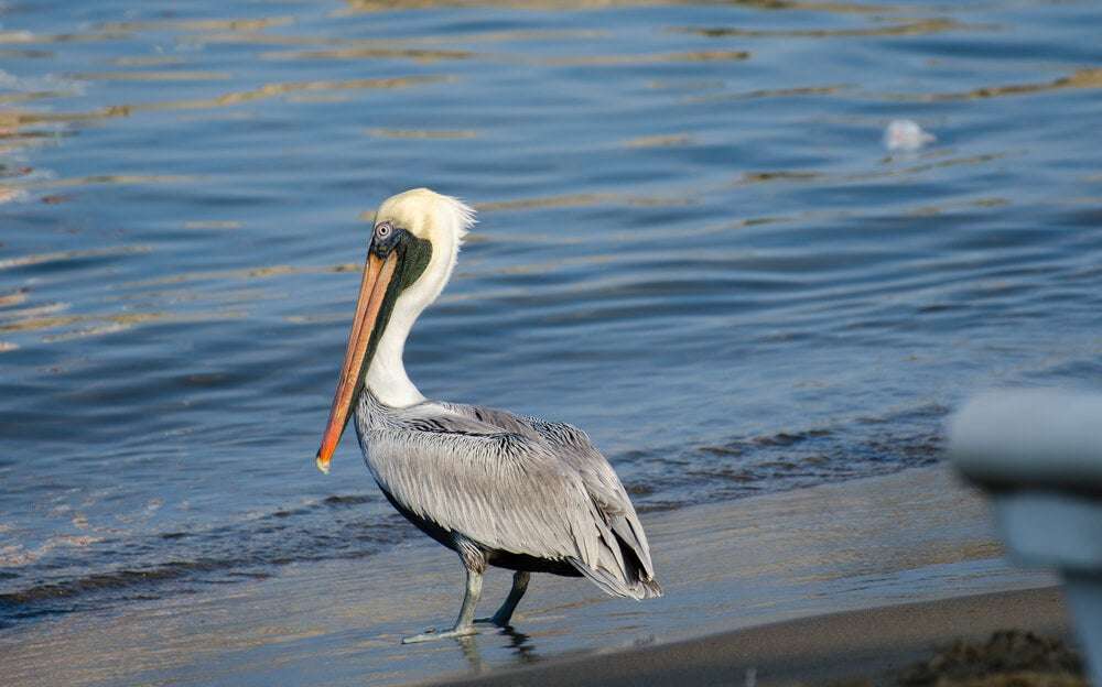 Pelícano en Manzanillo, lugar para los amantes de las aves