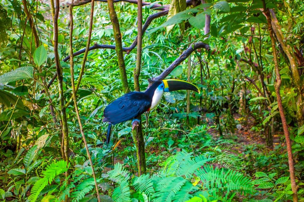 Tucán en la Amazonía