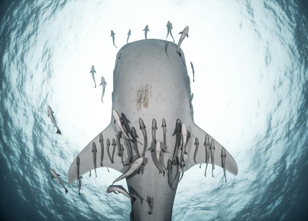 Tiburón ballena en la isla de Sipadan
