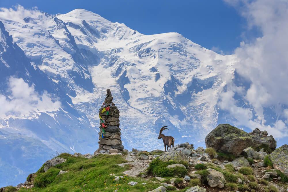 Cabra en el Mont Blanc