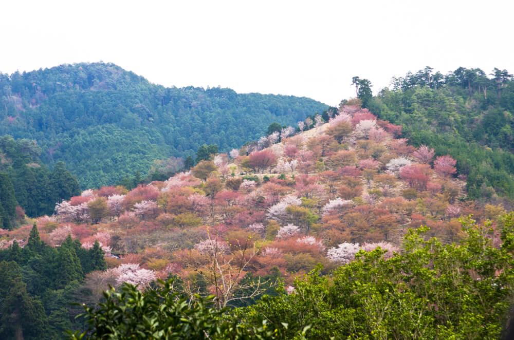 Cerezos en el parque Yoshino Kumano
