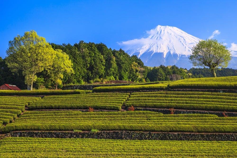 Plantación de té en Japón