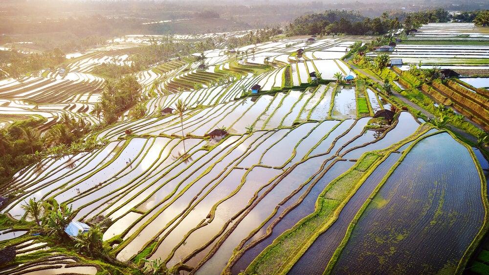 Visa de los arrozales