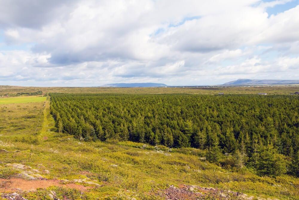 Área de cultivo de árboles para la reforestación de Islandia