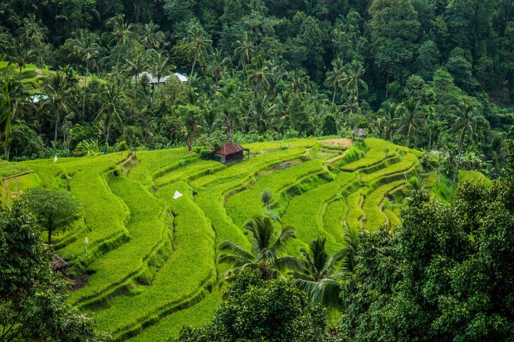 Campos de arroz de Jatiluwih en Indonesia