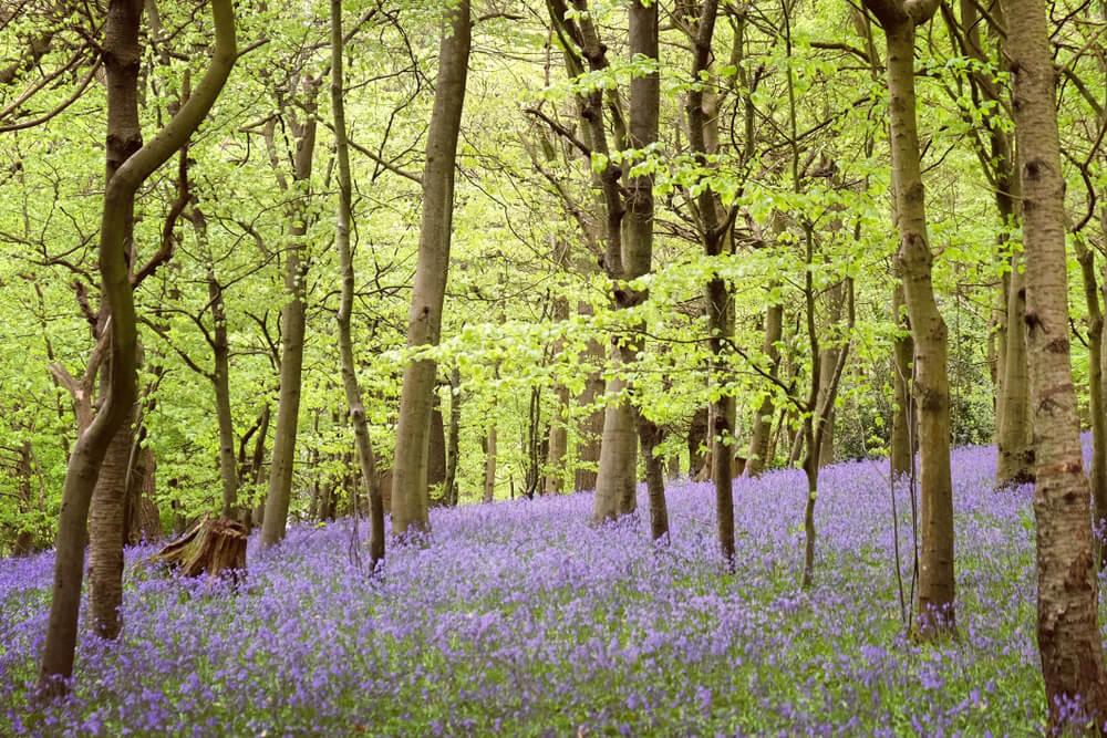Bosque en Surrey con lavandas