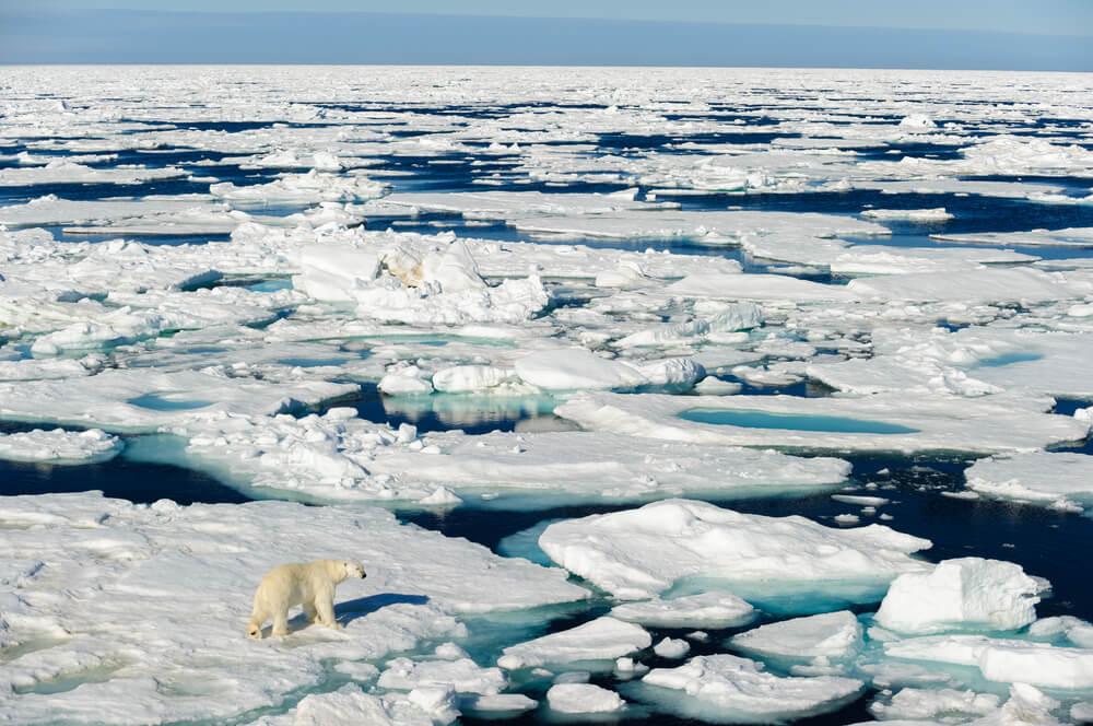 Oso entre hielos derretidos por el cambio climático