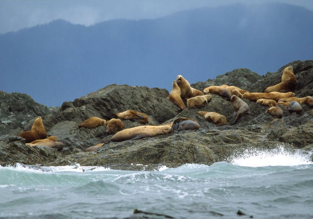 Leones marinos en Clayoquot Sound