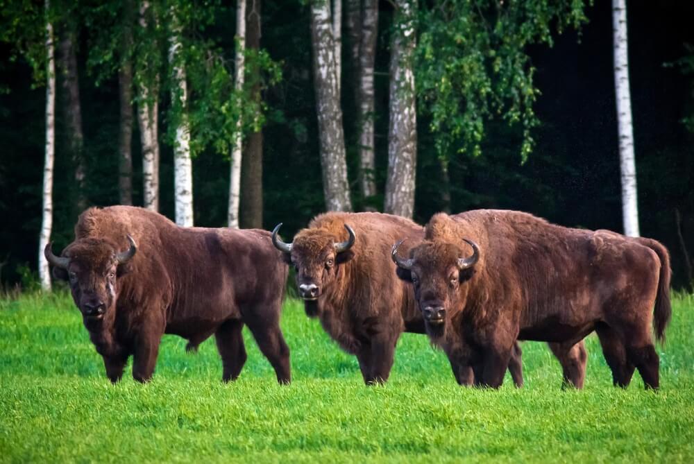Bisontes en el bosque de Bialowieza