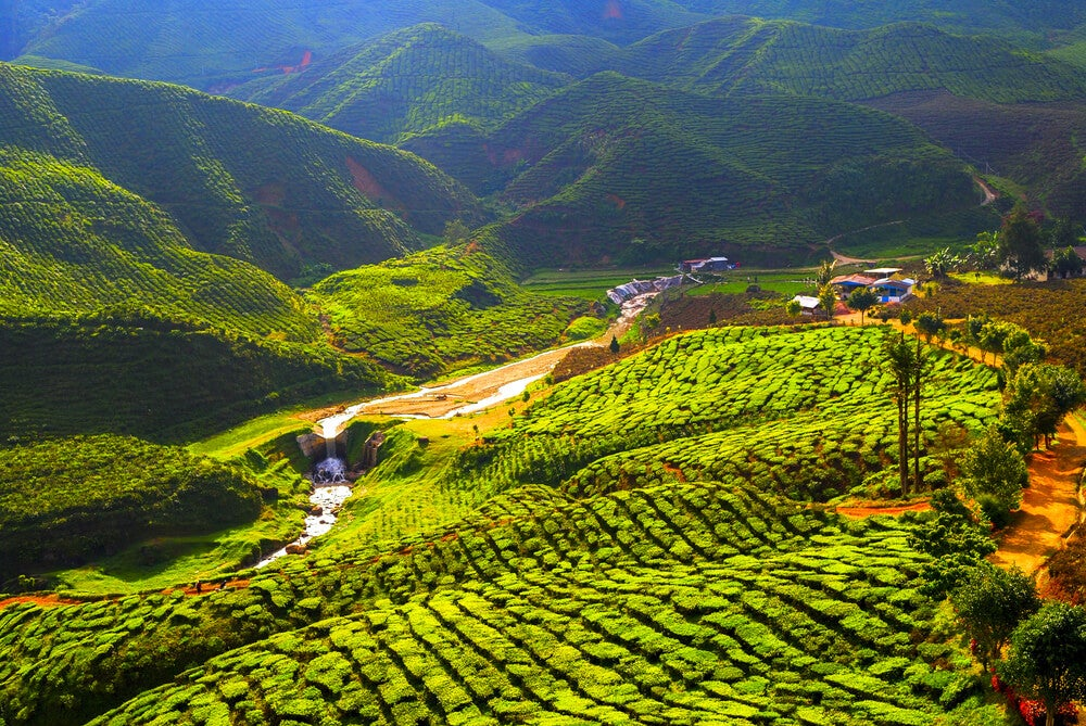 Plantación de té en Cameron Highlands
