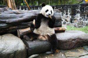 Centro de Conservación Panda en Dujiangyan.