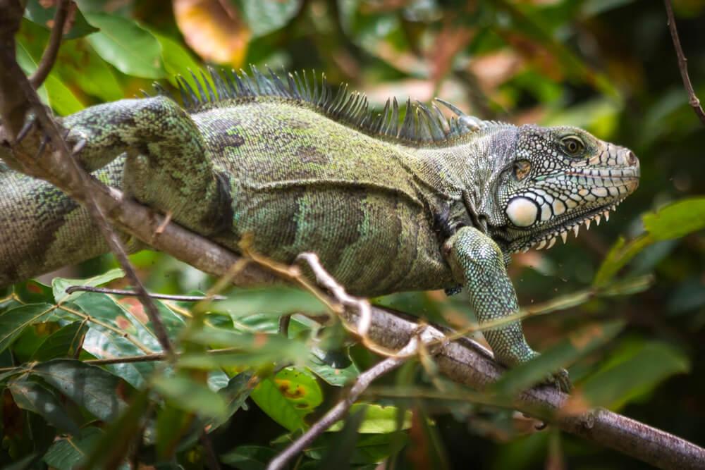 Iguana en Caño Cristales