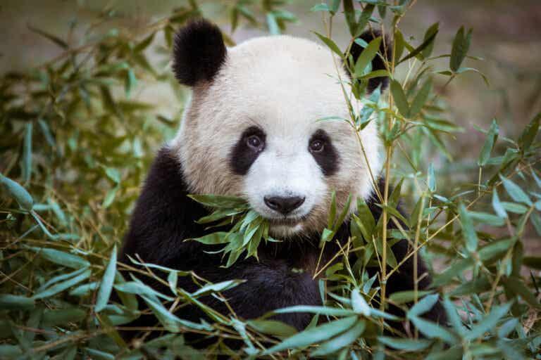 Los mejores lugares de China para ver pandas