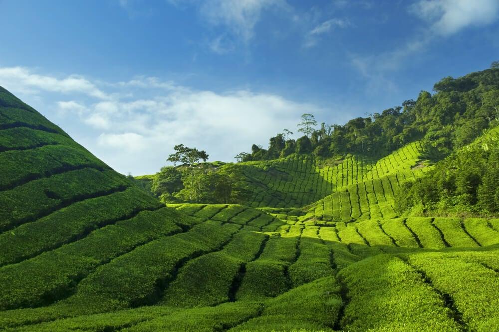 Plantación de té en las Cameron Highlands