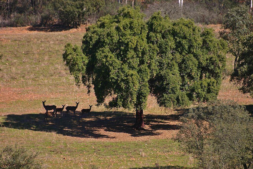 Ciervos en una dehesa