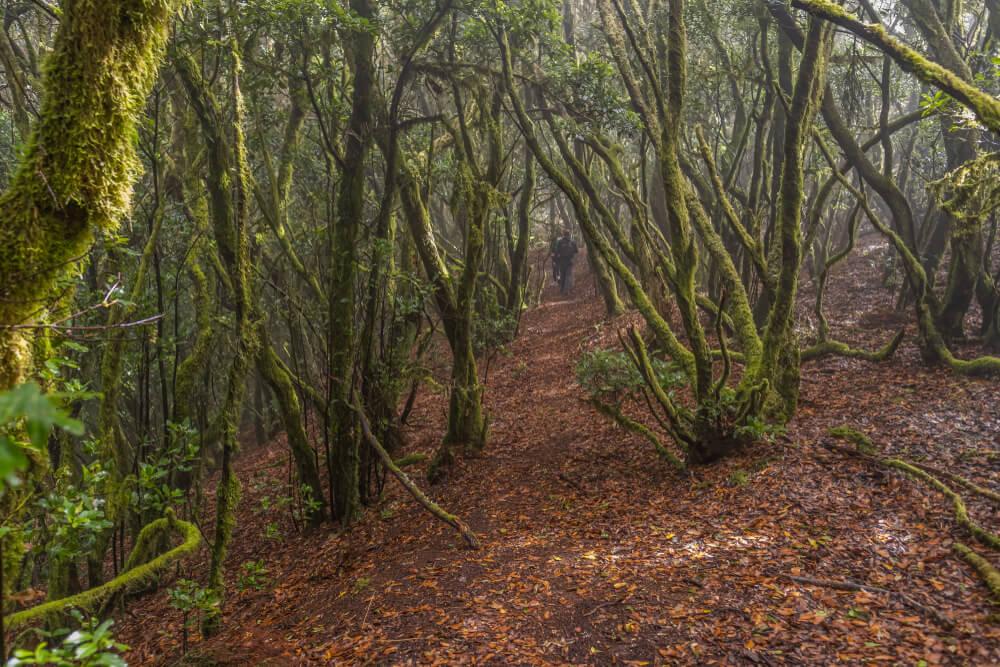 Monte del Agua, uno de los bosques de laurisilva de Tenerife