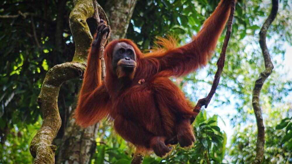 Orangután en Bukit Lawang