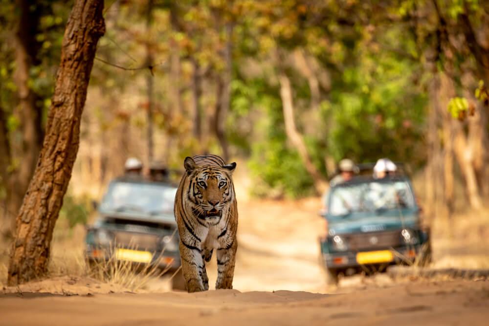 Los mejores lugares para ver tigres en la India