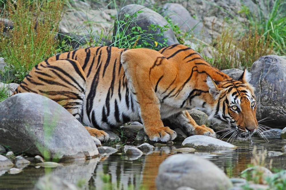 Tigre bebiendo agua