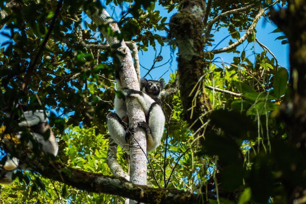 Lémures en el Parque Nacional Mantadia
