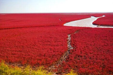 Floración en la playa roja