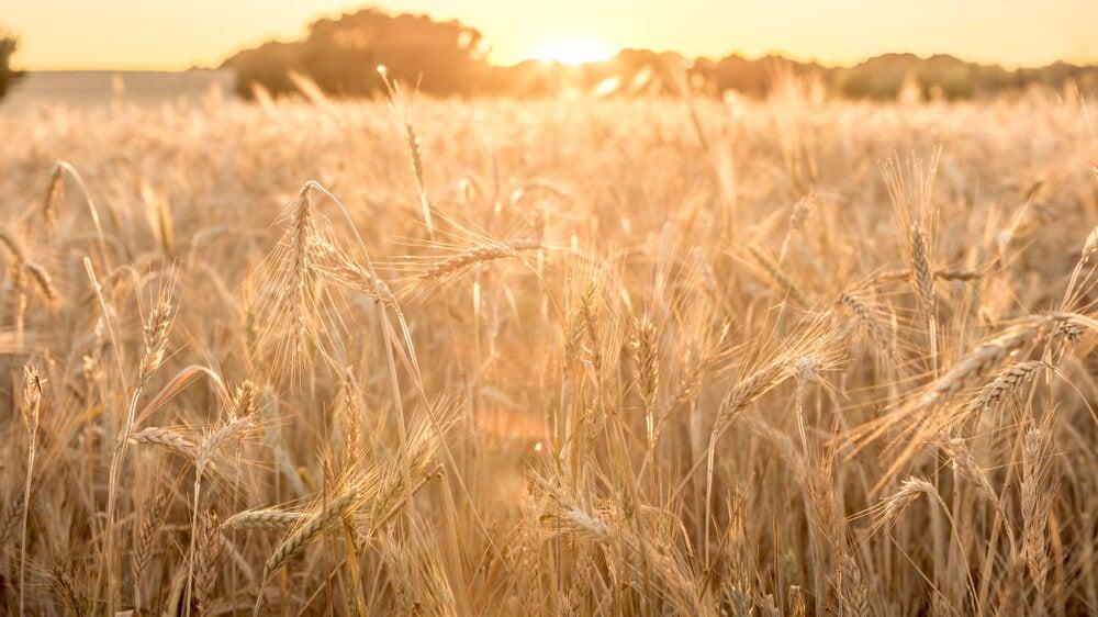 Campod e trigo, base de la economía de guerra