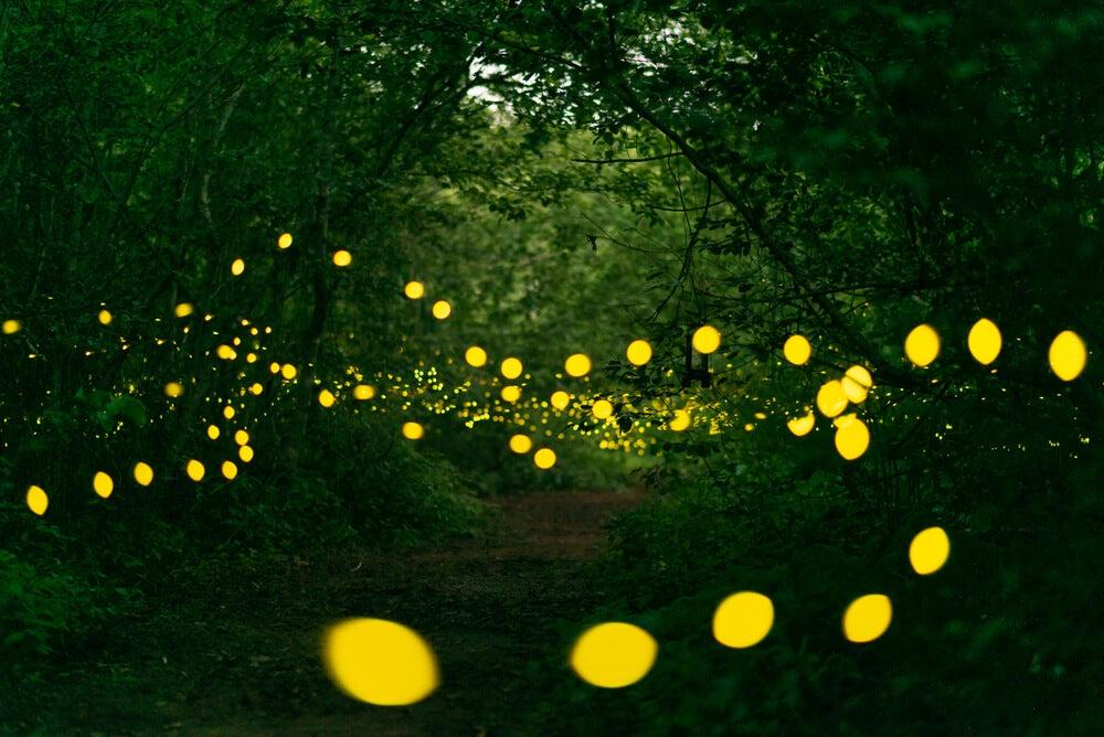 El extraño fenómeno de las luciérnagas de Great Smoky