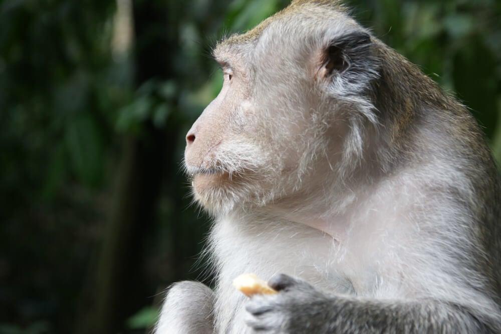 Mono balinés del Santuario Sagrado del Bosque de los Monos en Bali.