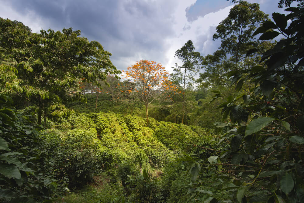 Plantación de café que se puede apreciar en el turismo indígena de Costa Rica.