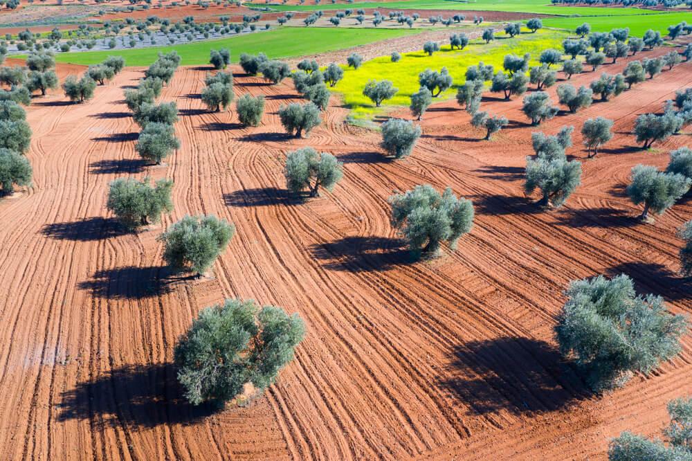 Plantación en el fuerte calor de Toledo, en La Mancha.