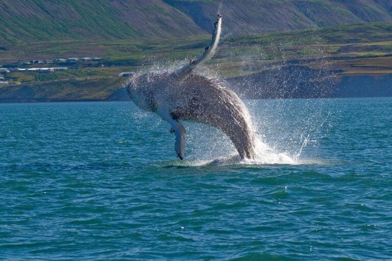 Ballenas en Islandia: una increíble visita natural