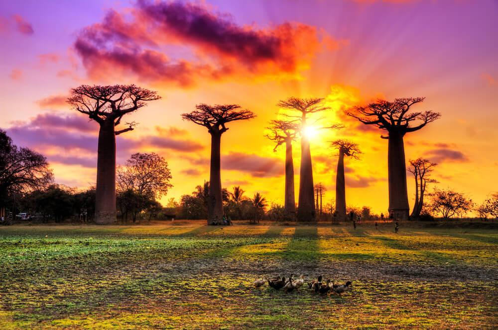 Hermoso paisaje de un atardecer en la Avenida de los Baobabs.
