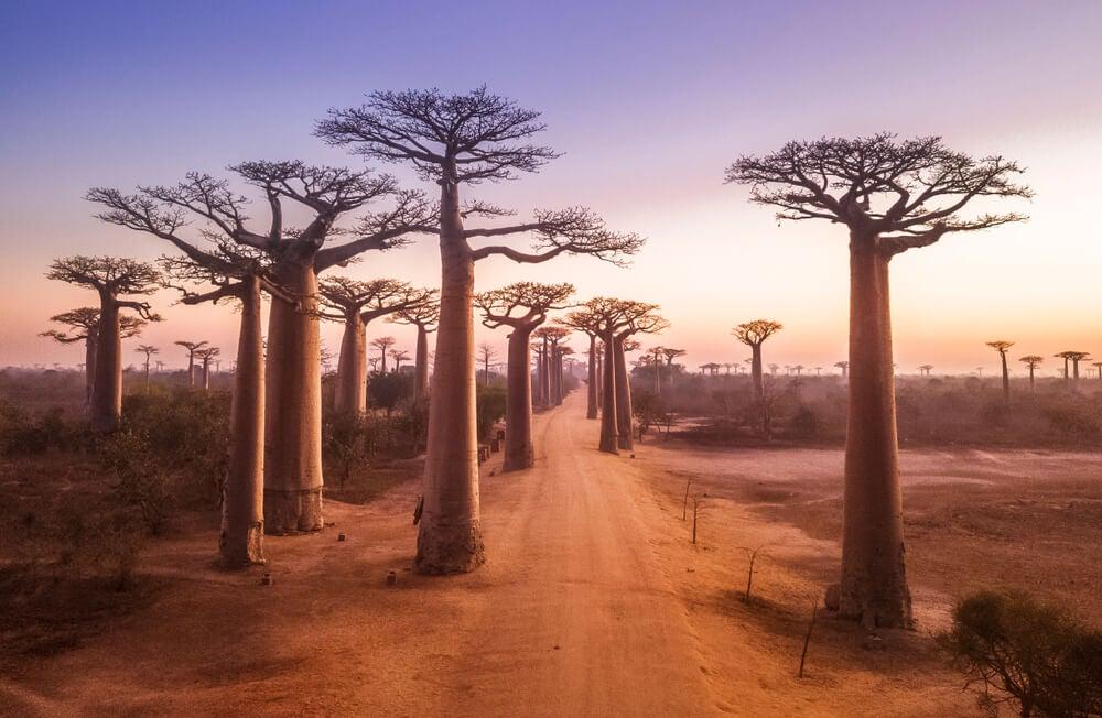 La Avenida de los Baobabs: de los lugares más famosos de Madagascar