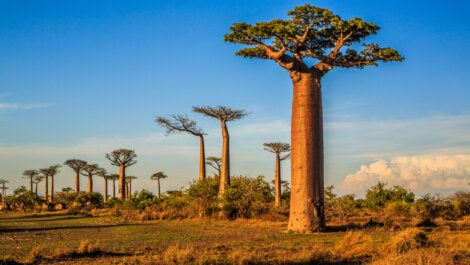 (juego) Imagen de Google Baobab-madagascar-470x265