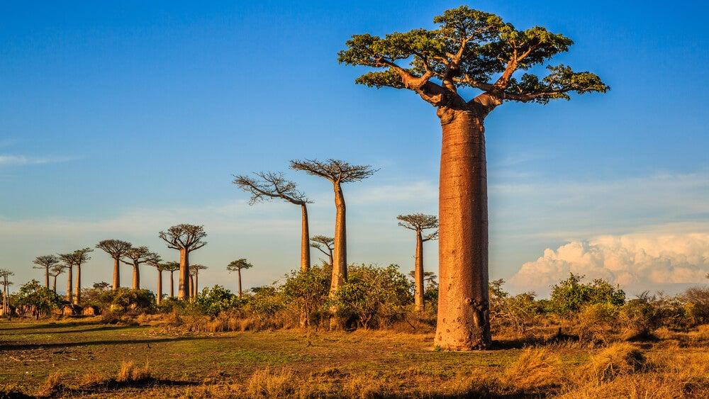 Ejemplar de baobab en Madagascar.