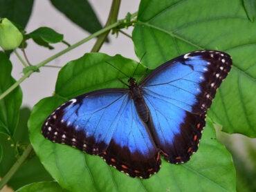 Las mariposas azules que puedes encontrar en el Amazonas