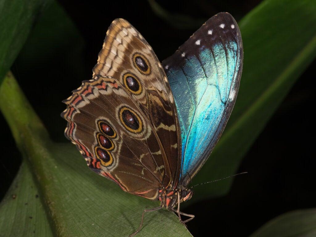 El Amazonas ofrece la posibilidad de ver a las mariposas Morpho.
