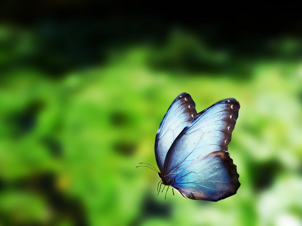 Mariposa azul del Amazonas en pleno vuelo.