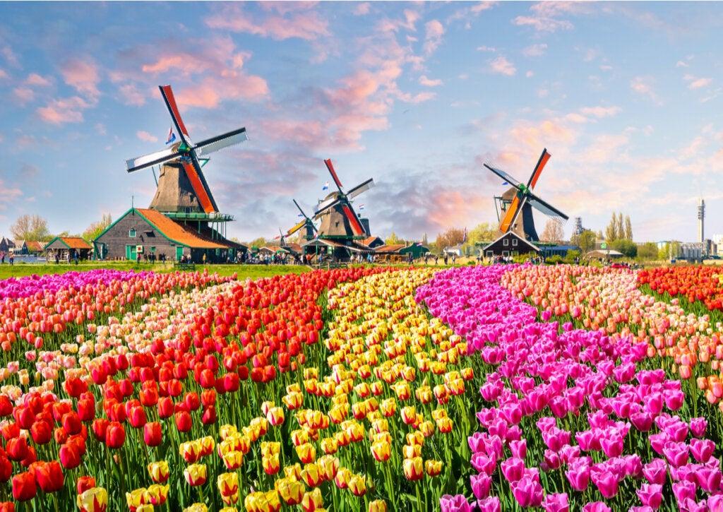 Los campos de tulipanes en Holanda