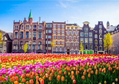Los tulipanes de Holanda son reconocidos en todo el mundo.