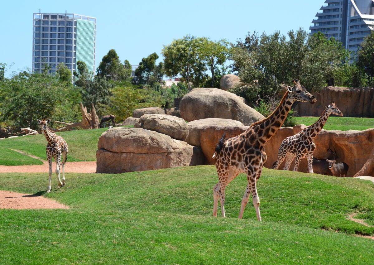 Jirafas caminando en el Bioparc de Valencia.