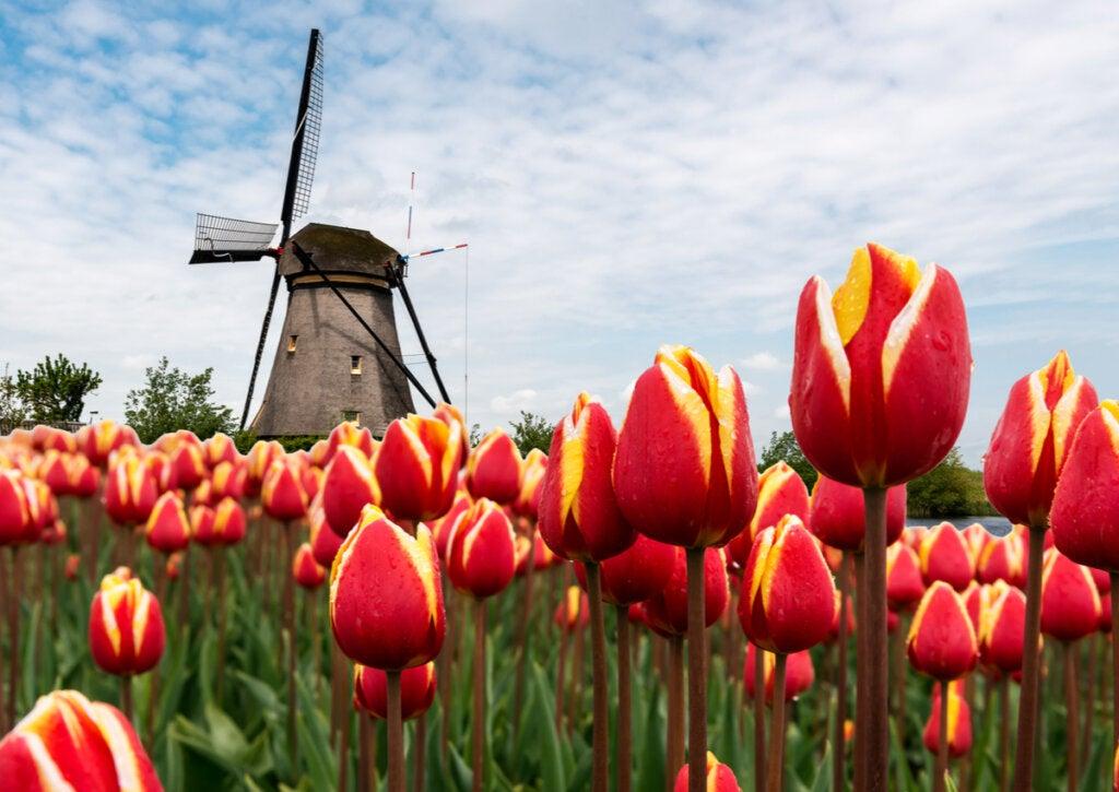 Vista cercana de tulipanes rojos en Holanda.