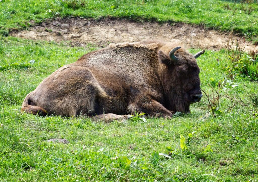 El bisonte europeo habita en el Parque Cuaternario de Santillana del Mar.