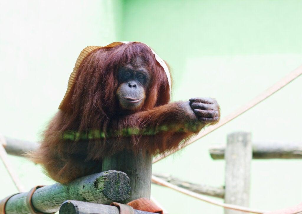 Un orangután en el Parque Cuaternario de Santillana del Mar.