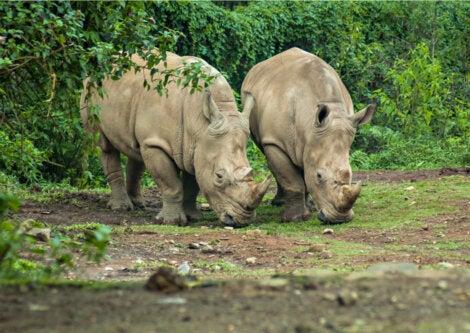 Rinocerontes en una reserva natural de Indonesia.